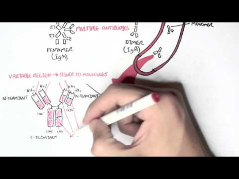Immunology  - Introduction to Antibodies
