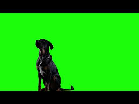 green screen dog