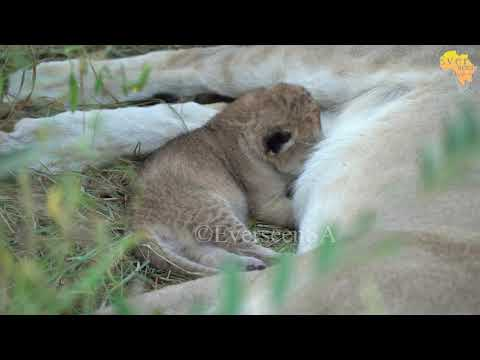 Newborn LION cubs ONLY 10 days old Sired by Sark males