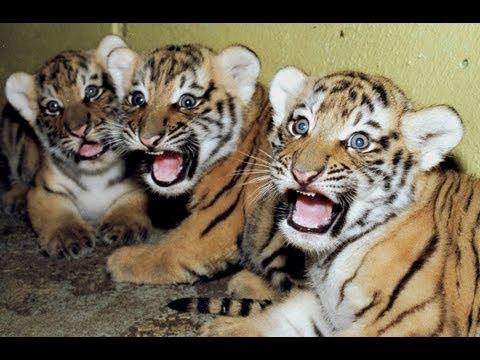 Cute newborn Tiger cubs  Amazing video of Siberian tigers!
